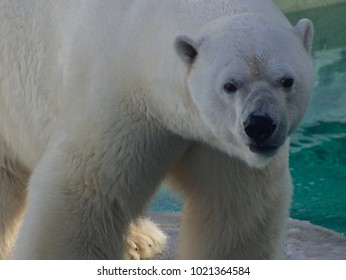 Male polar bear, close up