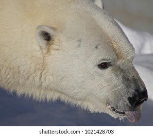 Male polar bear, close-up