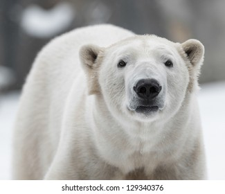 Male polar bear (Ursus maritimus) in the snow