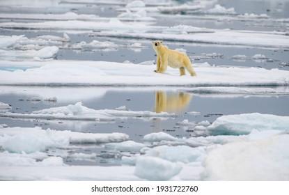 Male polar bear (Ursus maritimus), on melting ice, Svalbard, Norway