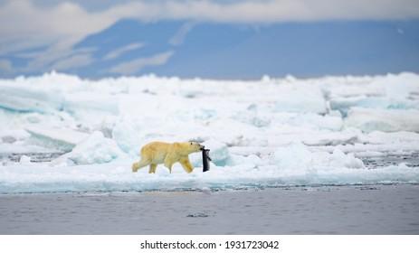 Male polar bear (Ursus maritimus), with seal prey, Svalbard, Norway