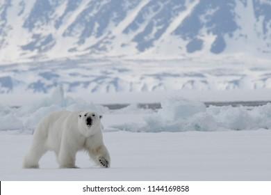 Male Polar Bear walking along floe edge between Baffin and Bylot Islands in Nunavut