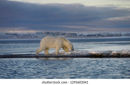 Male polar bear walking on Barter Island with Kaktovik Eskimo village Alaska