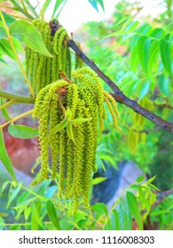 Male pollen-bearing catkins on pecan tree in Andalusian countryside
