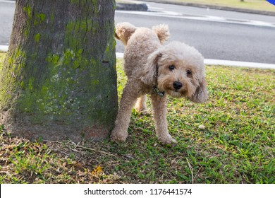 Male poodle urinating pee on tree trunk to mark territory in public park