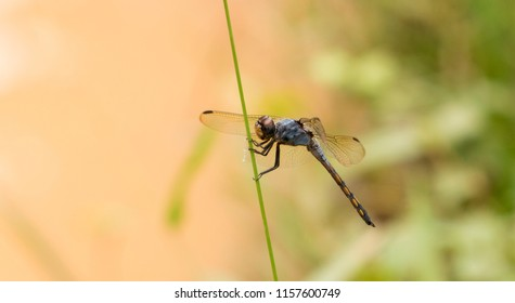 Male Potamarcha congener dragonfly (yellow-tailed ashy skimmer,common chaser, swampwatcher) found in Kerala, India