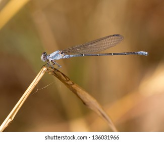 A male Powdered Dancer damselfly (Argia moesta), perched on a dying blade of native grass in a meadow near Austin (Travis County), in central Texas