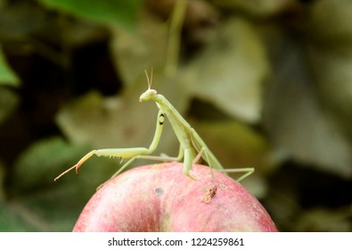 The male praying mantis on the apple. Mantis looking for prey. Mantis insect predator