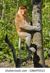 Male proboscis (long-nosed) monkey sitting in tree, Sabah (Borneo), Malaysia