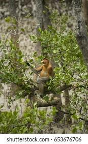 Male Proboscis Monkey feeding on Sonneratia mangrove tree leaves, Bako National Park, Sarawak Borneo Malaysia.