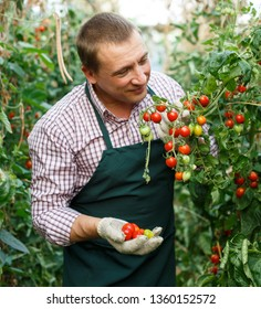 Male  professional horticulturist  looking  harvest of  tomatoes  in  hothouse indoor
