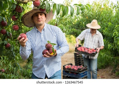 Male  professional horticulturist picking peaches from tree in garden