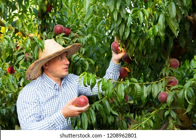 Male  professional horticulturist picking tasty peaches from tree in garden