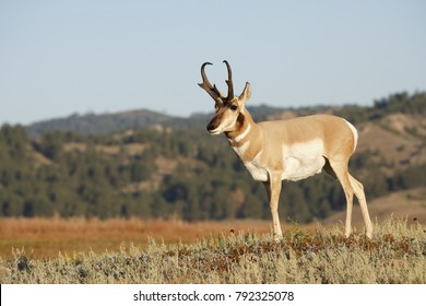 A male Pronghorn antelope in the Black Hills of South Dakota