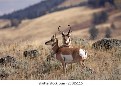 Male pronghorn sheep protecting his mate
