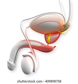 Male Prostate Anatomy - 3D illustration