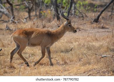 Male puku antelope