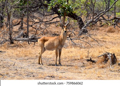 Male puku antelope in the Kafue National Park