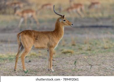 A male Puku antelope (Kobus vardonii) standing alert in open grassland, South Luangwa, Zambia