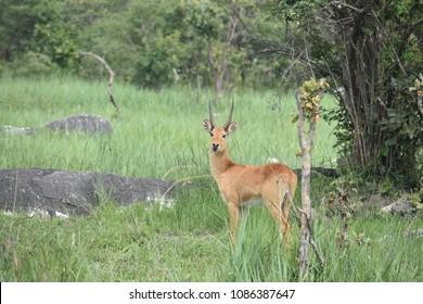 Male puku antelope Zambia, Africa