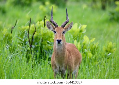 Male Puku (Kobus vardonii)