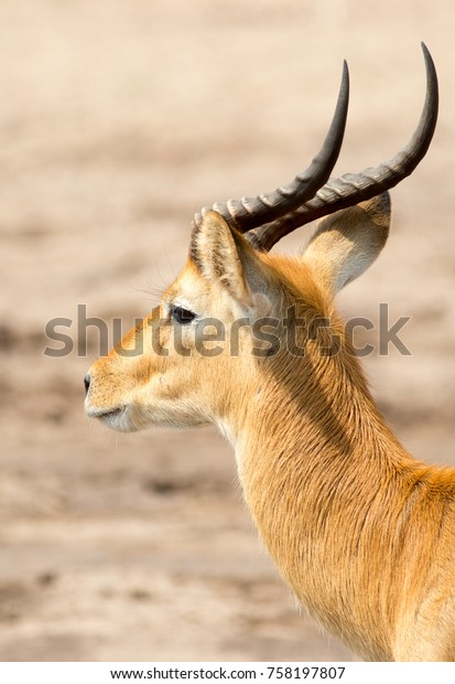 Male Puku (Kobus vardonii), head with good detail on horns and face.  South Luangwa, Zambia