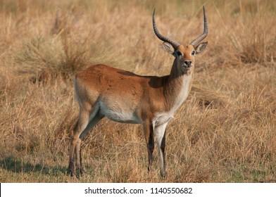 Male Puku, Kobus vardonii, in its natural environment in Botswana, Southern Africa.