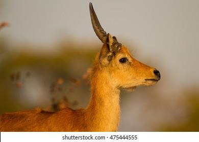 Male Puku (Kobus vardonii) in profile