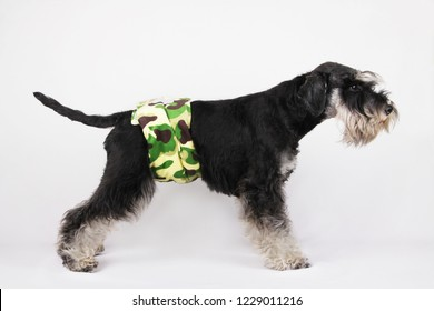 male puppy Schnauzer dog in pee diaper secured around his waist to keep him from urinating in the house to mark his territory.