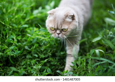 Male purebred cat wearing a blue collar hunting in the summer garden in the evening