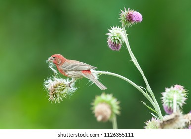 A male purple finch (Haemorhous purpureus) eats seeds and collects down from thistle plants