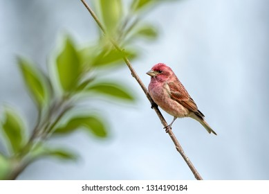 Male Purple Finch Perched on Bare Branch with Green Leafy Branch in Background Against Blue Sky
