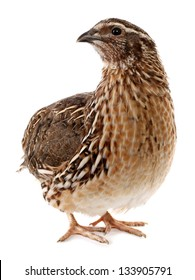 Male quail