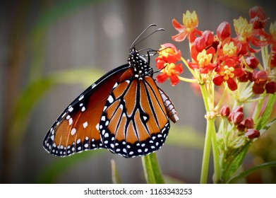 Male queen butterfly on tropical milkweed
