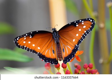 Male queen butterfly with wings open