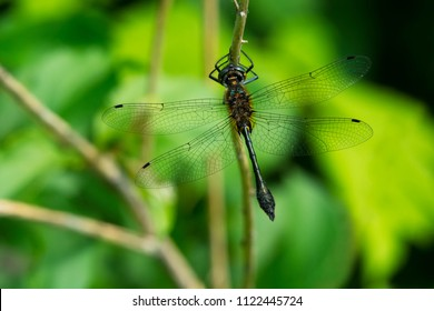 Male Racket-tailed Emerald Dragonfly perched on a leaf. Kirkfield Lift Lock, Kawartha Lakes, Ontario, Canada.