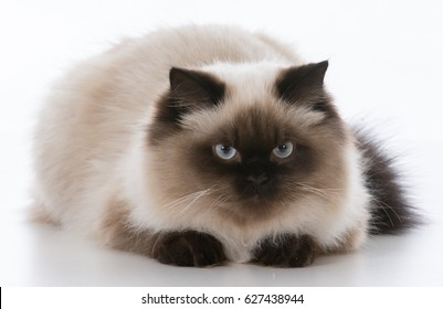 male ragdoll cat laying down on white background