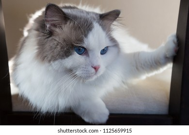 male ragdoll cat with paw to the side