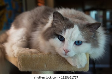 male ragdoll in a cat tree with beautiful blue eyes