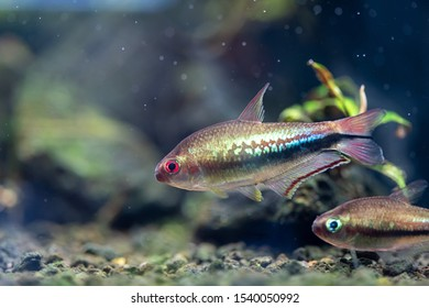 Male Rainbow Emperor Tetra (Nematobrycon lacortei) named by a rainbow color in middle of body