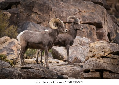 A male (ram) and female (ewe) big horn sheep in Joshua Tree National Park in California USA.
