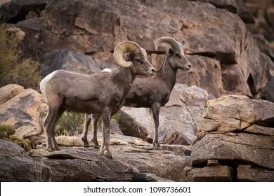 A male (ram) and female (ewe) big horn sheep in Joshua Tree National Park in California USA.