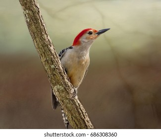 Male Red Bellied Woodpecker clinging to a tree limb