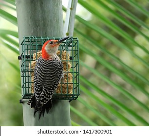 Male red bellied woodpecker at the suet feeder.