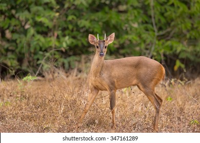 A male Red Brocket Deer (Mazama americana) looking at the camera standing in dry grassland against a backdrop of dark trees, Pantanal, Brazil