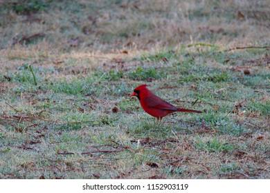 A male Red Cardinal, or Northern Cardinal walking on grass. Northern Cardinal is state bird in North Carolina, USA.