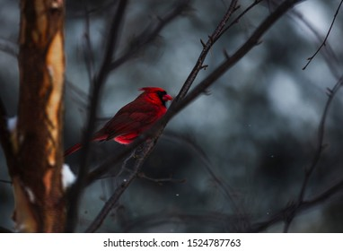 Male red cardinal on snowy tree branch in winter, Ontario Canada
