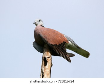 Male Red Collared Dove or Red Turtle Dove (Streptopelia tranquebarica), lovely bird perched on old decay bamboo pole with blue sky background.