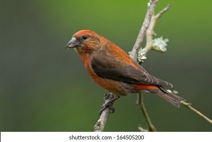 A male red crossbill perches briefly on a dead branch before flying down to the feeder