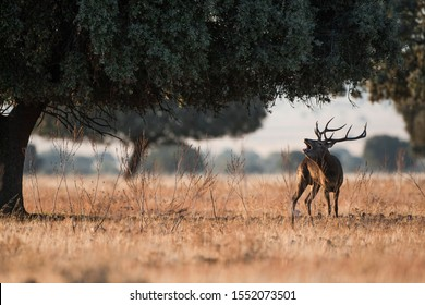 male red dear during rut in the dry prairies of center spain